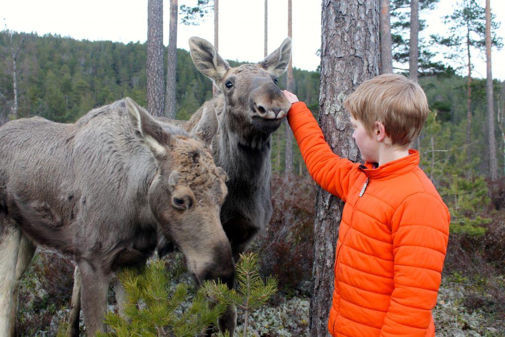 På Elgtun kan du bli bedre kjent med skogens konge. | Foto: Annette W. Høyland