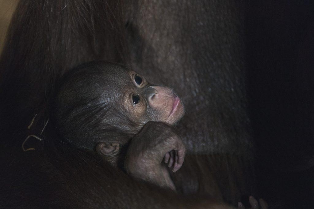 Orangutangen blir i Indonesia en kaldt mennesket fra skogen.