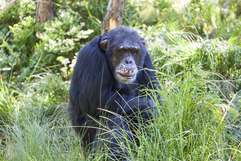 Sjimpansen Julius fyller 40 år i 2019
