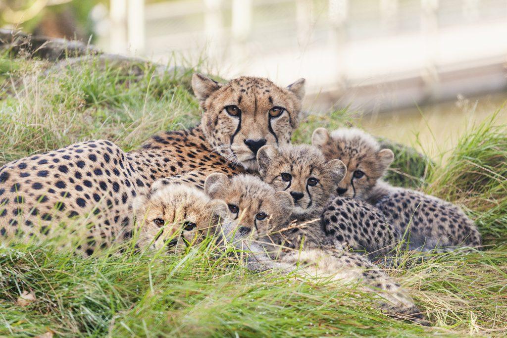Gepard med unger Foto: Dyreparken