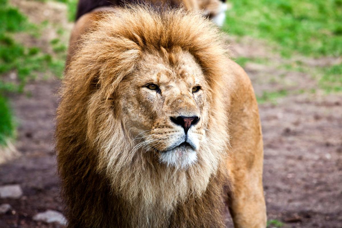 Løvepresentasjoner i Dyreparken i hele høstferien